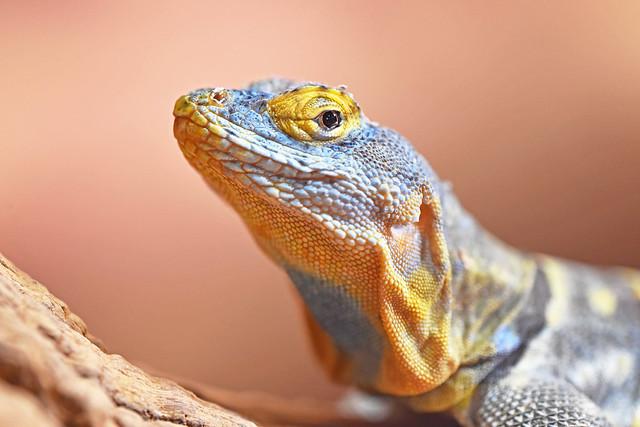 plavi stjenački gušter (Petrosaurus thalassinus / Baja Blue Rock Lizard / Blauer Falsenleguan)