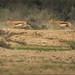 Dorkasgazellen (Dorcas gazelle)