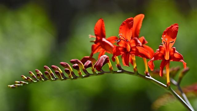 fiery blooms, Nikon D7200, AF Micro-Nikkor 105mm f/2.8