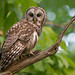 Barred Owl by Jesse_in_CT