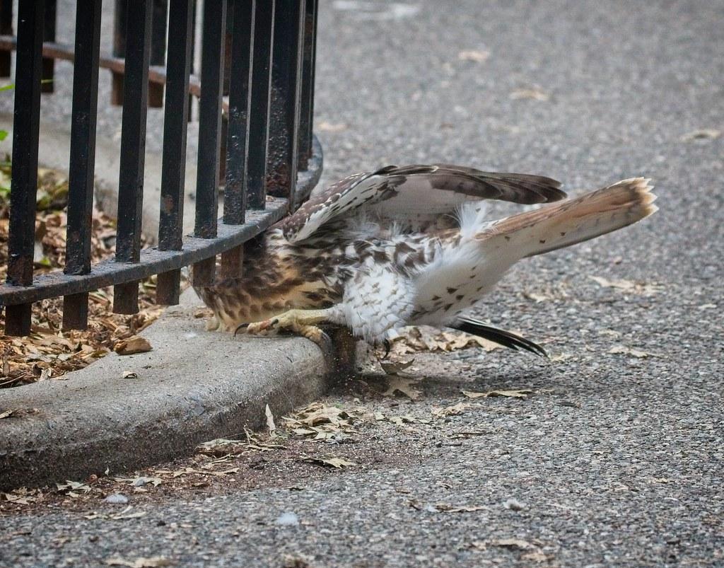 Silly hawk