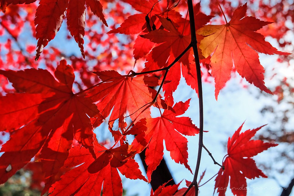 maple_leaves_seoul_autumn