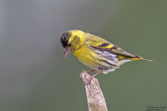Siskin, Carduelis spinus, Canon EOS 7D MARK II, Canon EF 500mm f/4L IS