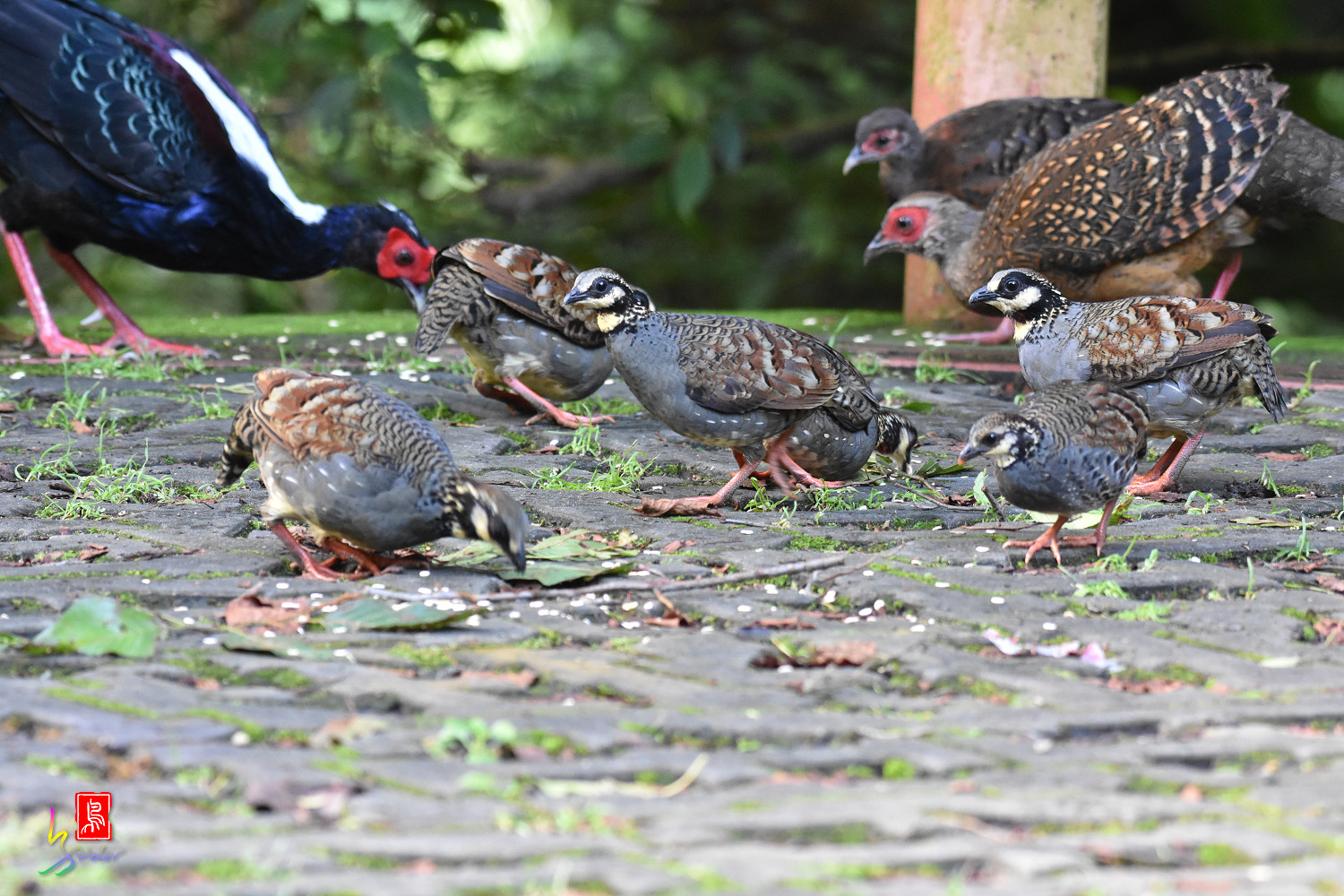 Taiwan_Hill_Partridge_5770