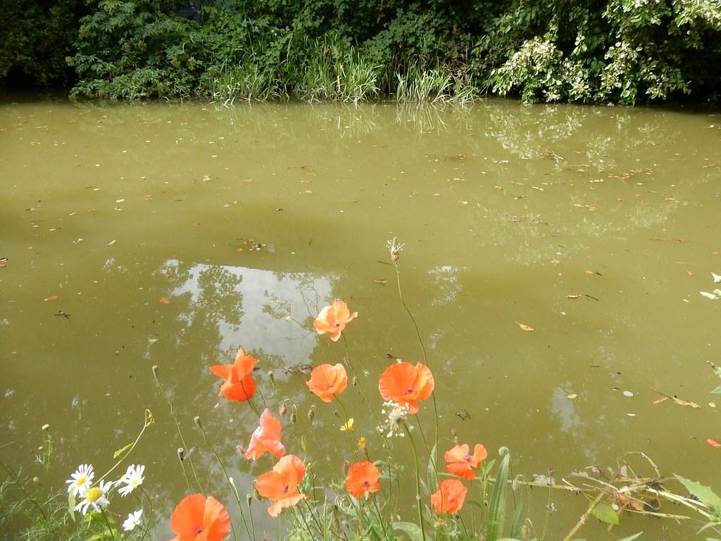 Canal Poppies Aylesbury Vale Parkway to Aylesbury