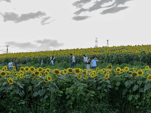 flower miyagi nature 花 ヒマワリ ひまわり 大崎市 sunflower flowers japan 宮城県