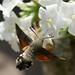 Taubenschwaenzchen (2)