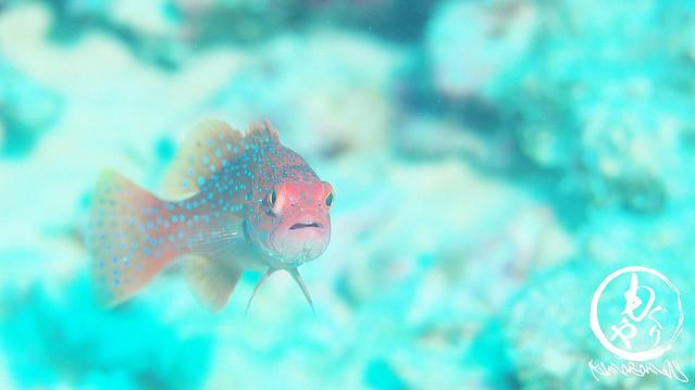 高級魚。アカジンミーバイことスジアラの若いの