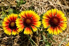 blanket flowers 9618