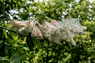 Tent Caterpillars | by Stephen Downes