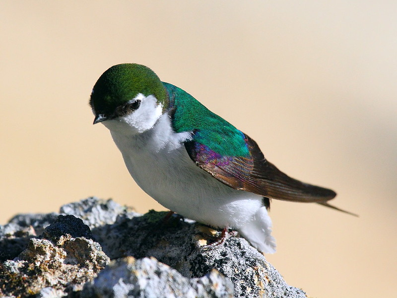 IMG_7099 Violet-Green Swallow