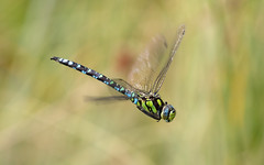 Southern hawker m (Culbin Forest)