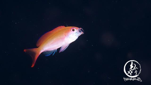 食欲旺盛なカシワハナダイ幼魚ちゃん♪