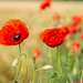 Red Red Poppies