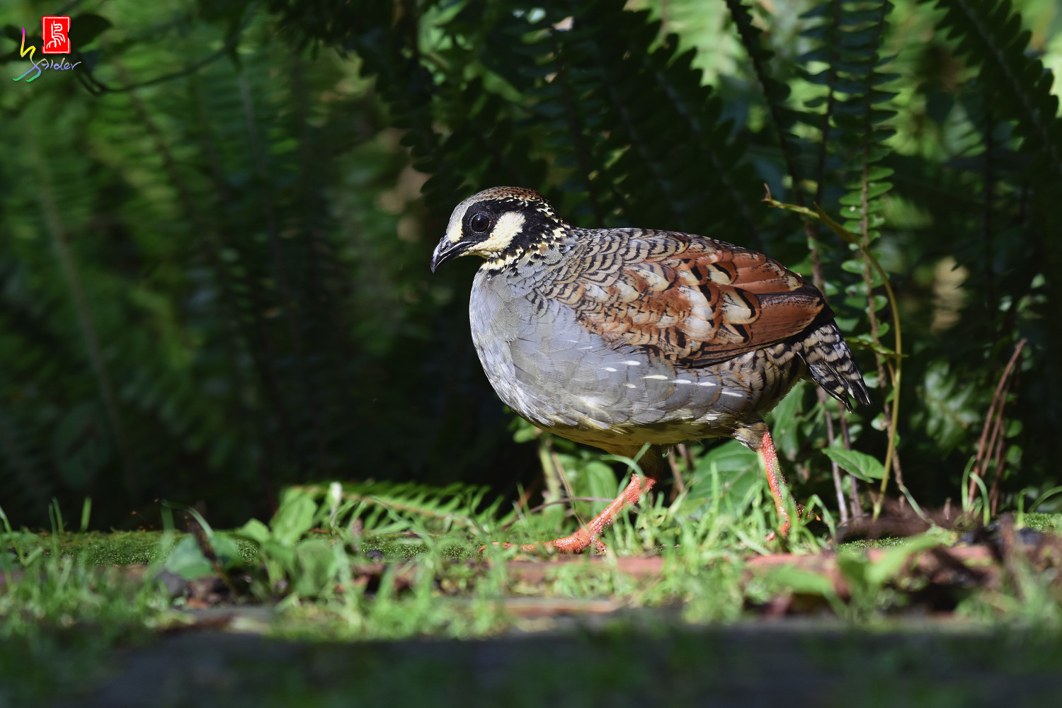 Taiwan_Hill_Partridge_5736