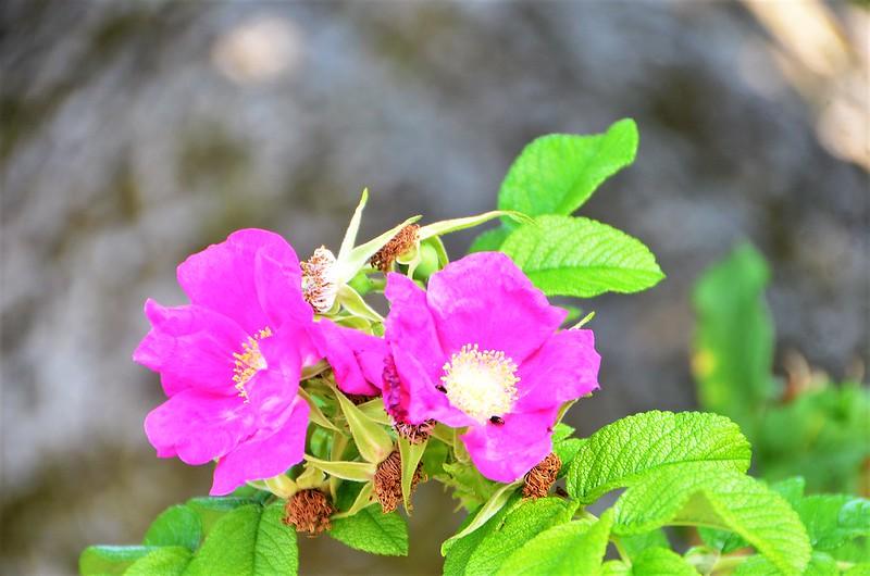Roses 19.08 (2)