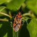 Rholapid Bug - Corizus hyoscyami