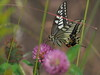 Photo:Old World swallowtail butterfly (Papilio machaon), キアゲハ) By Greg Peterson in Japan