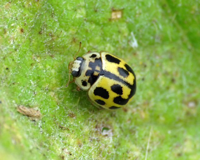 14-spot Ladybird - Propylea quattuordecimpunctata