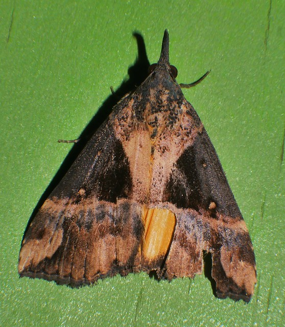 Mandalay Rhino horn Snout moth Dichromia quinqualis Hypeninae Noctuoidea Airlie Beach rainforest P1350944