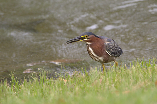 green heron morrow georgia
