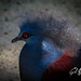Victoria Crowned Pigeon by crfleury