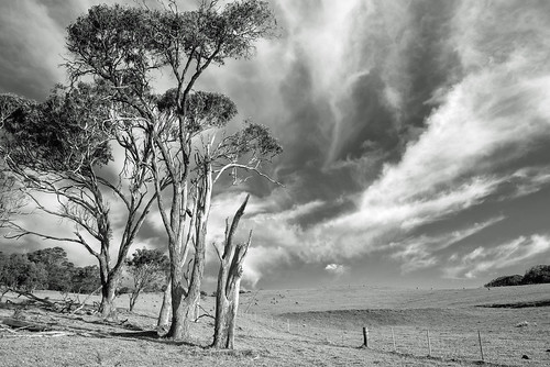 Afternoon gum trees