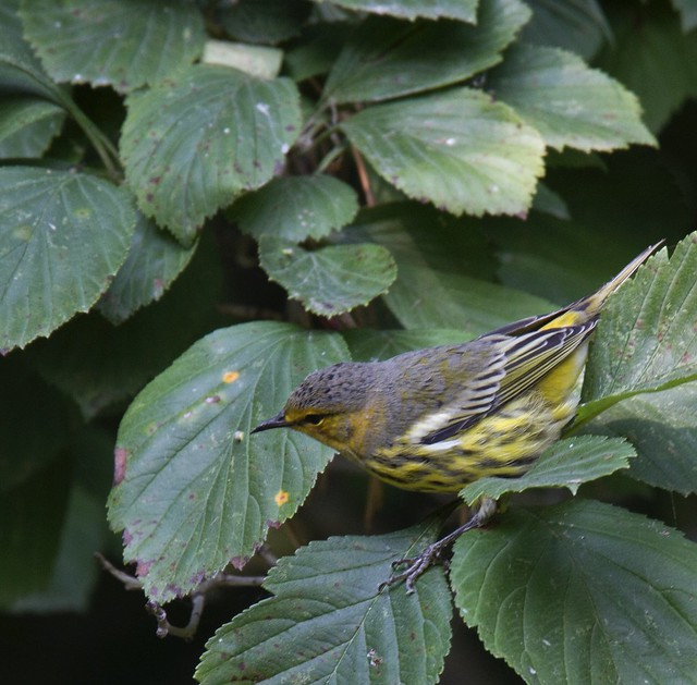 Cape May Warbler, Canon EOS 7D, Tamron SP 150-600mm f/5-6.3 Di VC USD