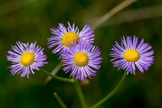 Wild-Flower-12-7D1-073118