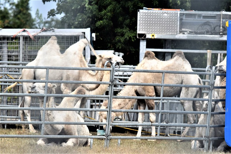 Camels Circus Knie 06.08 (1)