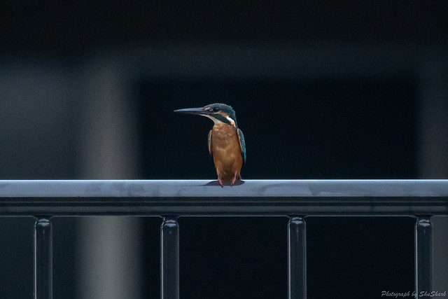 20180813-kingfisher-DSC_7536