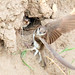 Sand martin and chick