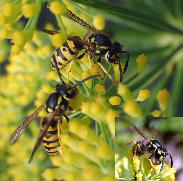 Teeming on Yellow. Common Wasp, Vespula vulgaris, on Foeniculum vulgare, Fennel, Hortus Botanicus, Amsterdam, The Netherlands