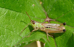 Meadow Grasshopper (Chorthippus parallelus) - Photo of Saint-André-de-Briouze