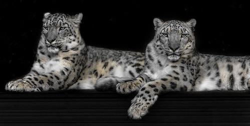 Snow Leopards...