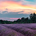 Mayfield Lavender.  Blended Panorama EXPLORED