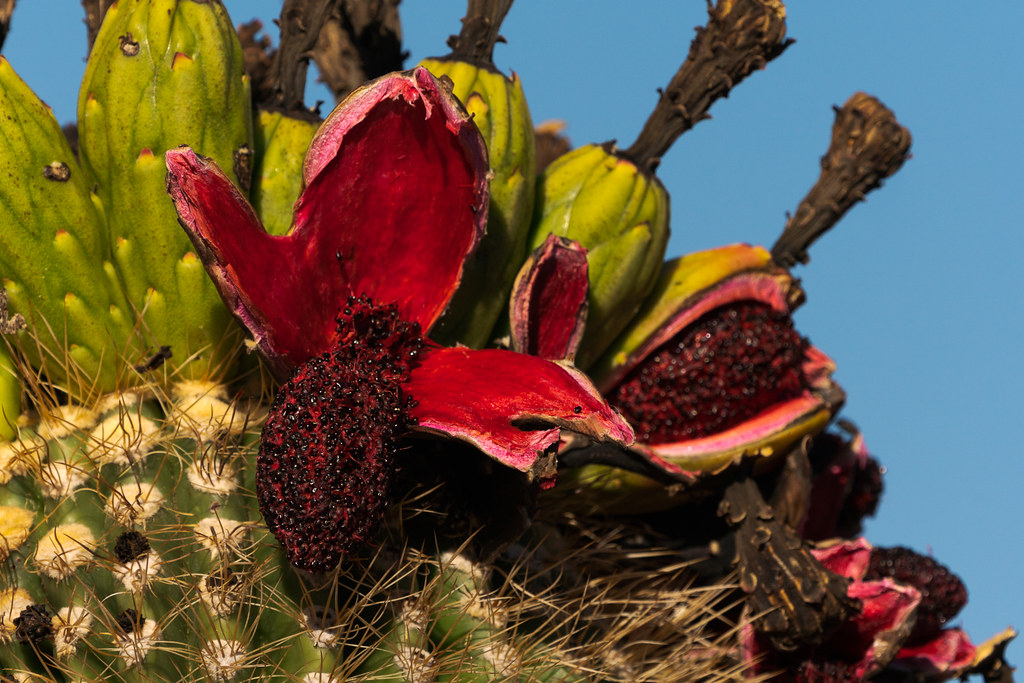Fruit splits open atop a saguaro at the Amphitheater in McDowell Sonoran Preserve in Scottsdale, Arizona
