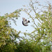 Woodpigeon landing in a tree, 2018 Jul 19