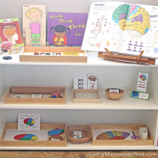 Montessori Shelves with Brain-Themed Activities