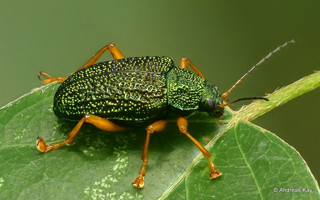 Leaf beetle, Callicolaspis sp., Chrysomelidae