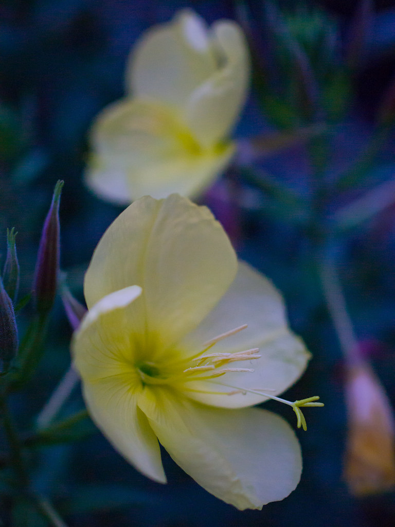 Evening primrose blossoms