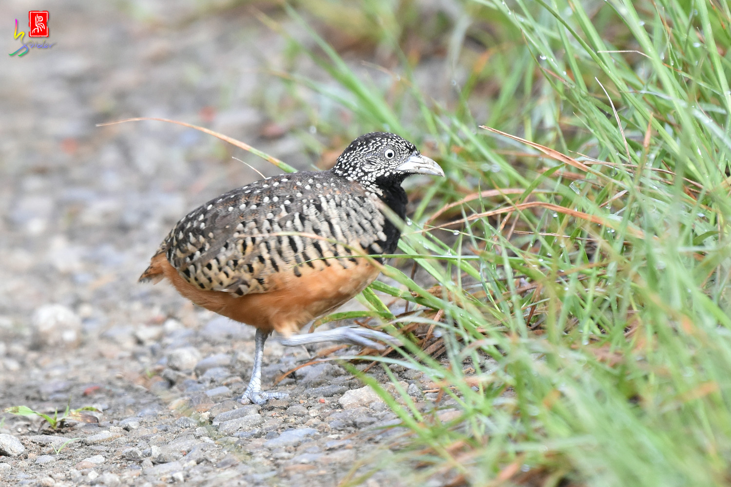 Barred_Buttonquail_7196