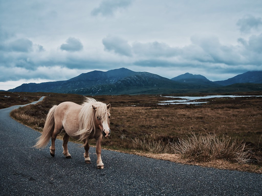 Wild pony from South Uist