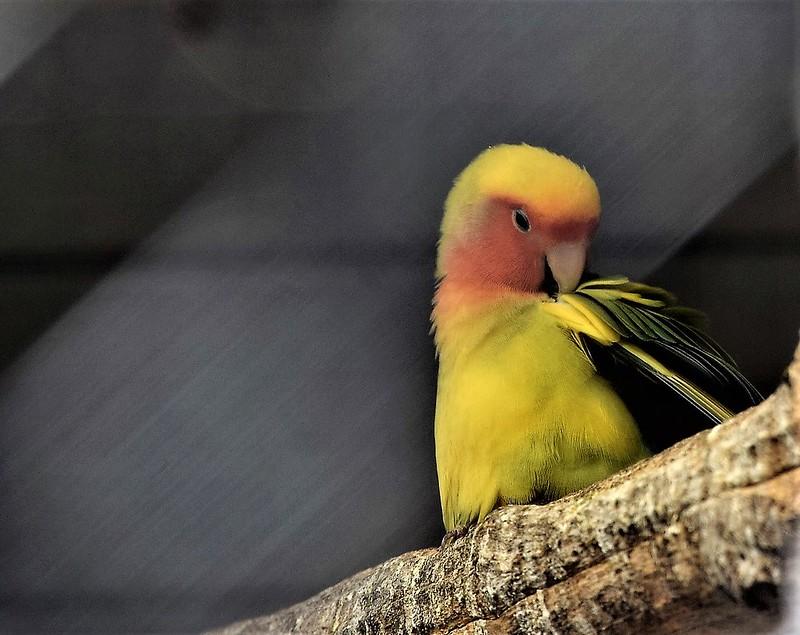 Aviary Birds 10.08 (4)
