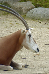 2018.06.19.029 CHAMPREPUS - Parc animalier - Orys algazelle - Photo of Champcervon