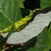 Gall Midge sp. - Dasinuera auritae