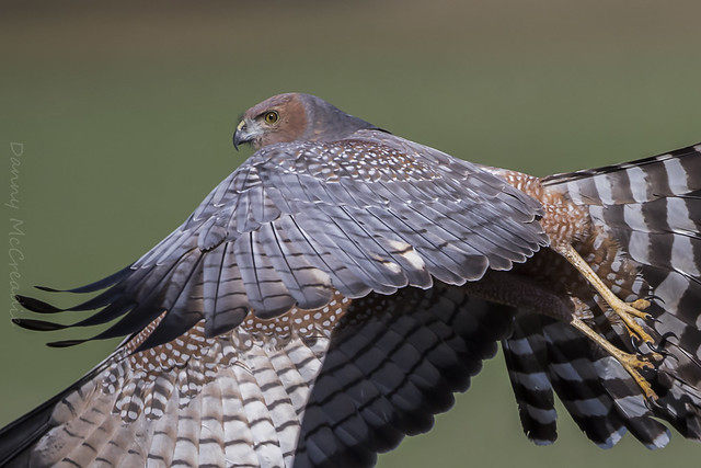 Spotted Harrier, Giles Corner, Canon EOS 7D MARK II, Canon EF 500mm f/4L IS II USM