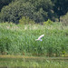RSPB Ham Wall-Great White Egret