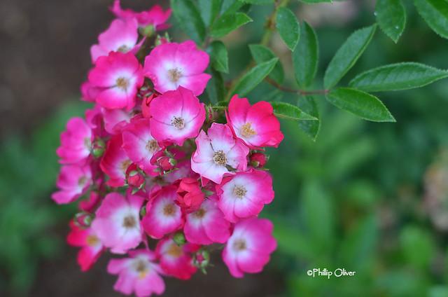 rose-marjorie-fair
