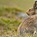 Mountain Hare by coopsphotomad